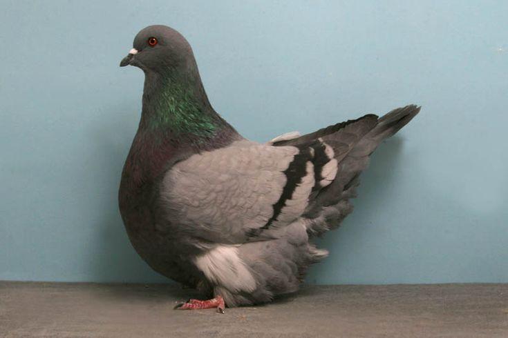 голубь сидит на попе - Поиск в Google