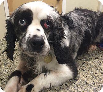 Oak Ridge, NJ - Cocker Spaniel. Meet Iris, a dog for adoption. http://www.adoptapet.com/pet/17367320-oak-ridge-new-jersey-cocker-spaniel