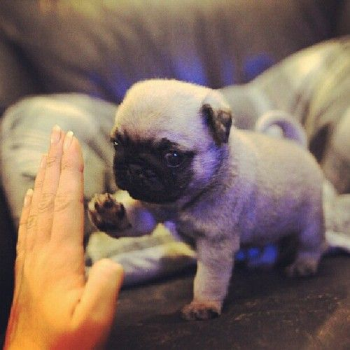 Pug Puppy Working on High-Five -