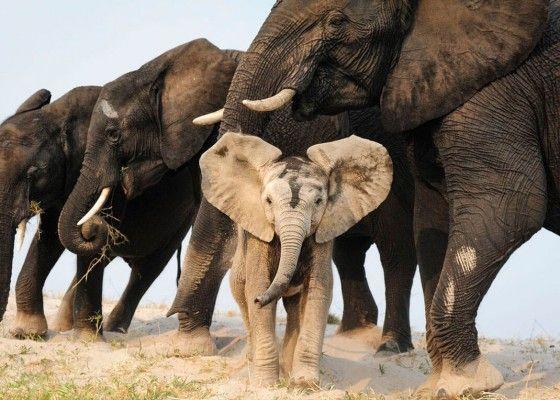 Un éléphanteau s'amuse dans le sable