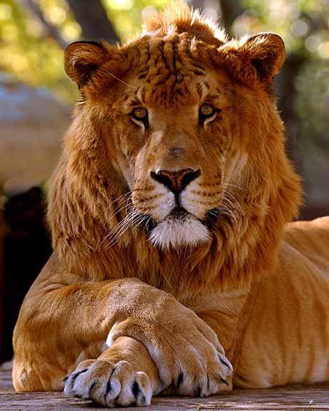 Liger (Mix: Lion + Tiger)