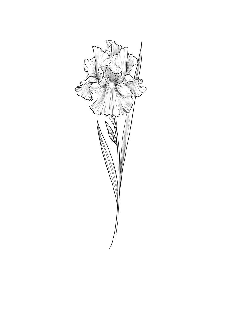 Iris Tattoo Sketch By Cathy Ma Artwork Iris Tattoo Iris Flower Tattoo Iris Drawing
