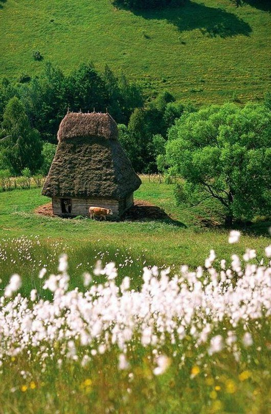 A solitary cow stands sentry by a weathered hut as delicate white flowers in the foreground wave in the wind. Bucolic country scene