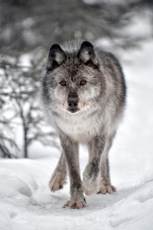 wonderous-world:Wolf byViktoria Haack
