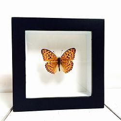 Vlinder in lijst Braamparelmoervlinder. In deze lijst zit een Brenthis Daphne vlinder. In Nederland kennen we deze vlinder onder de naam  Braamparelmoervlinder. Deze dagvlinder komt voor in Zuid Europa en strekt zich uit tot in Azië.