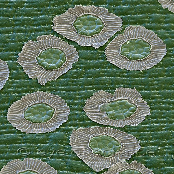 Гусмания (Guzmania). На поверхности листьев видны чешуйки (так называемые трихомы). С помощью этих клеток растения способны усваивать воду из воздуха. Сканирующий электронный микроскоп, увеличение 280: 1