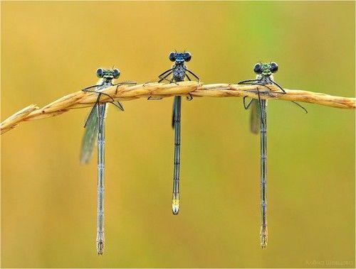 Dragonflies...just hangin...