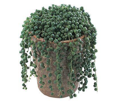 Erbsenpflanze - Greiskraut - Kreuzkraut