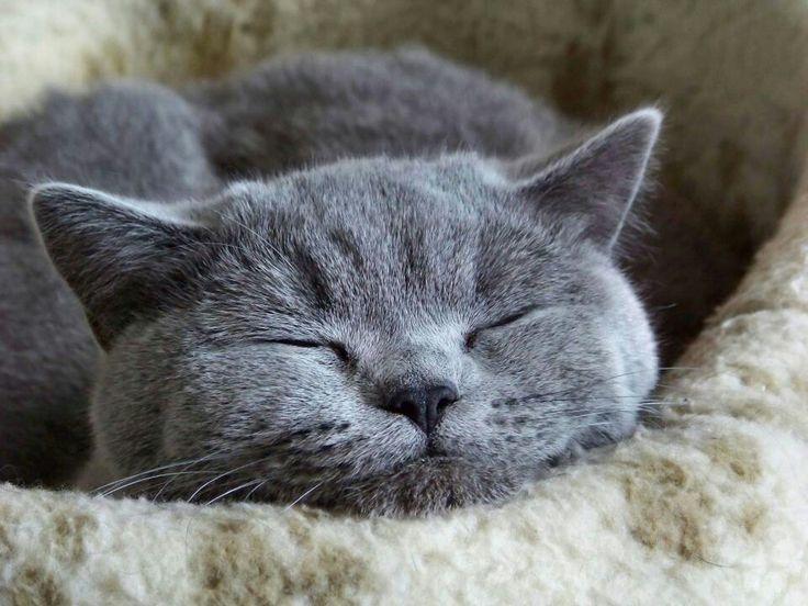 Risultati immagini per pictures blue russian kittens