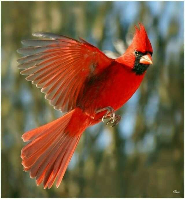 39+ Flying red bird clipart information