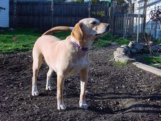 This is part of my series on mixed breed dogs. It isn't uncommon for people to end up with mix when adopting (Yay for adopting!), so if you have a beagle lab mix, here is a bit about your mixed breed. Photo Credit: Dan Ivovich (Flickr Creative Commons) Also known as theLabbe,Beagador, Labeagle, or Labbe …