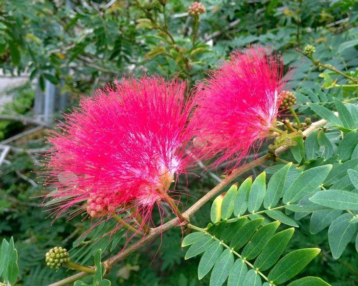Albicja jedwabista ROSEA Albizia julibrissin Jedwabne perskie drzewo C1,5/20cm - Future Gardens