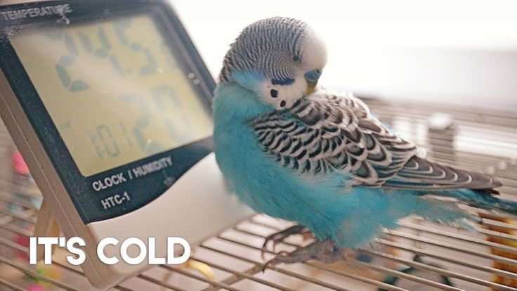 how to train a budgie parakeet