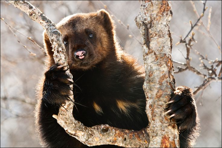All sizes | Wolverine | Flickr - Photo Sharing!