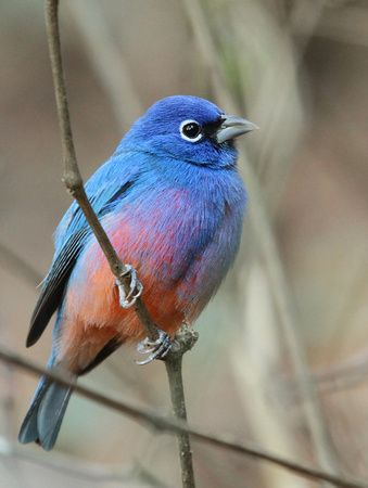 The Rose-bellied Bunting, endemic to a tiny strip of hills along the Pacific slope of the Isthmus of Tehuantepec in the Mexican states of Oaxaca and Chiapas,