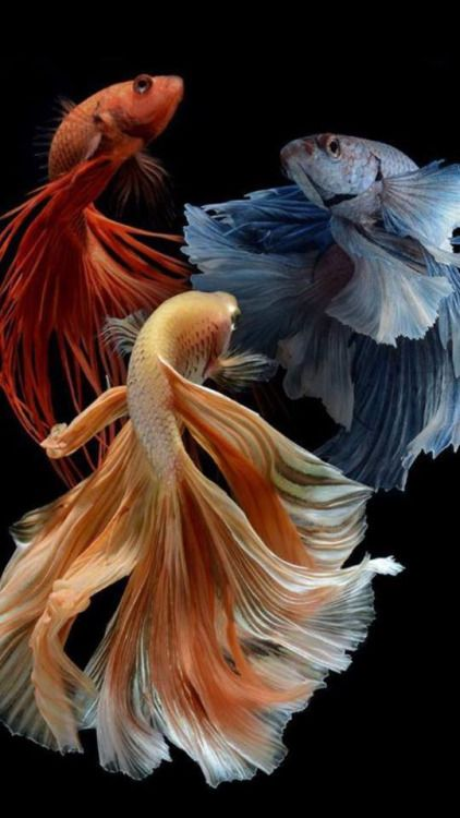Siamese Fighting Fish......Bettas