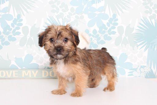 Shorkie Tzu puppy for sale in NAPLES, FL. ADN-66557 on PuppyFinder.com Gender: Male. Age: 10 Weeks Old