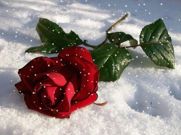 Живые картинки зимняя роза