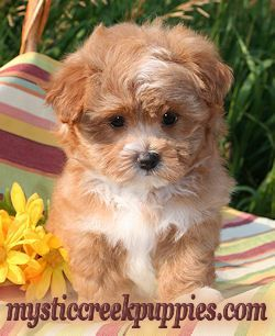 Maltipoo, Morkie, or Yorktese puppies from Mystic Creek Puppies