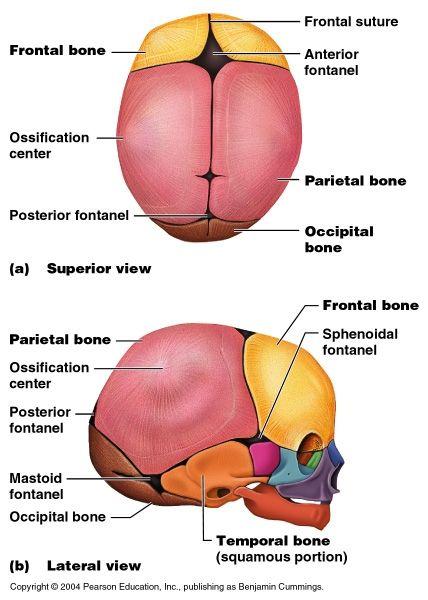 10 Best Fetal Skull And Gynaecoid Pelvis Images On Pinterest