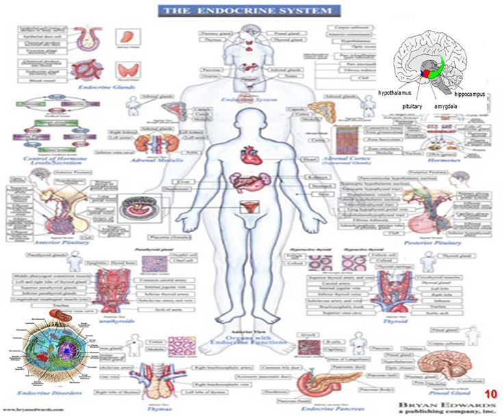 brief summary of the endocrine system Endocrine glands secrete hormones straight into the bloodstream hormones help to control many body functions, such as growth, repair and reproduction the endocrine system involves many organ systems and hormones, many of which are still being investigated and understood.