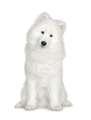 SamoyedFavorite Things, Dogs Breeds, Favorite Dogs, Pet Health, Pets Health, Happy Dogs, Samoyed Dogsarebest, Dog Breeds, Animal