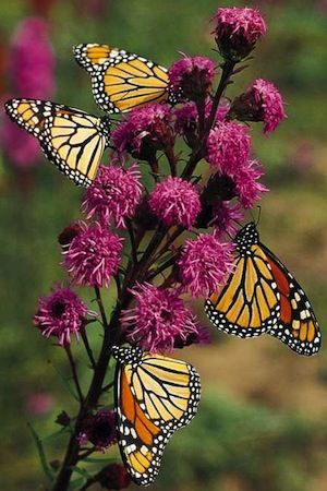 How to Make a Butterfly Garden  -first of all, use lots of lantana. click to find out more
