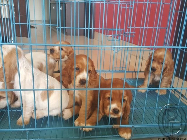 Cocker Spaniel Puppies For Sale In Mumbai Maharashtra India In