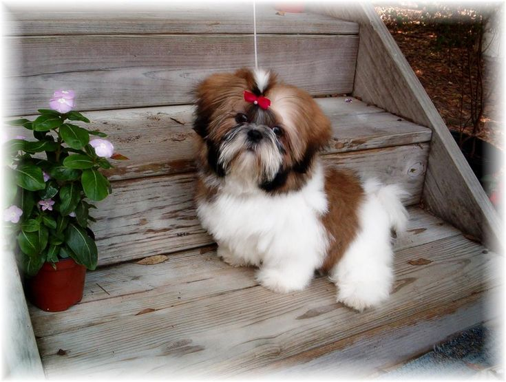 SHIH TZU PUPPIES FOR SALE IN GA AL FL TN NC SC FOR SALE BY
