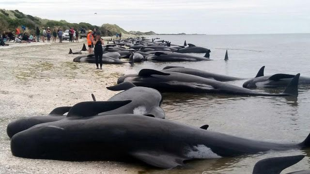 416 φάλαινες νεκρές σε παραλία στη Νέα Ζηλανδία - Τί τις σκότωσε