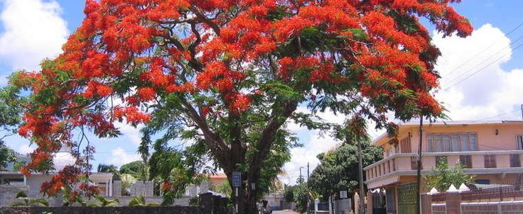 17 Best Images About Trees On Pinterest Albizia