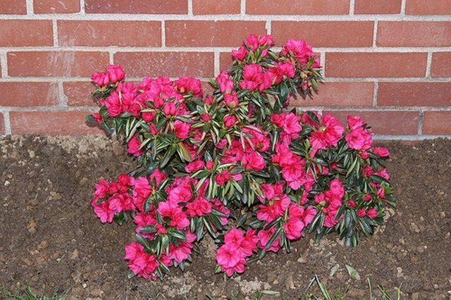 Azaleas Are A Subgenus Of Flowering Shrubs That Can Grow Up To 6 Feet In Height And Produce Numerous Large Flowers Azaleas Landscaping Azalea Bush Azaleas Care