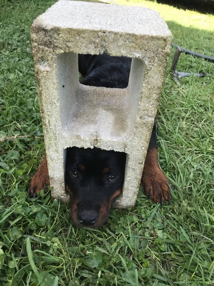 Firefighters Use Jaws Of Life To Free Rottweiler Puppy S Head From