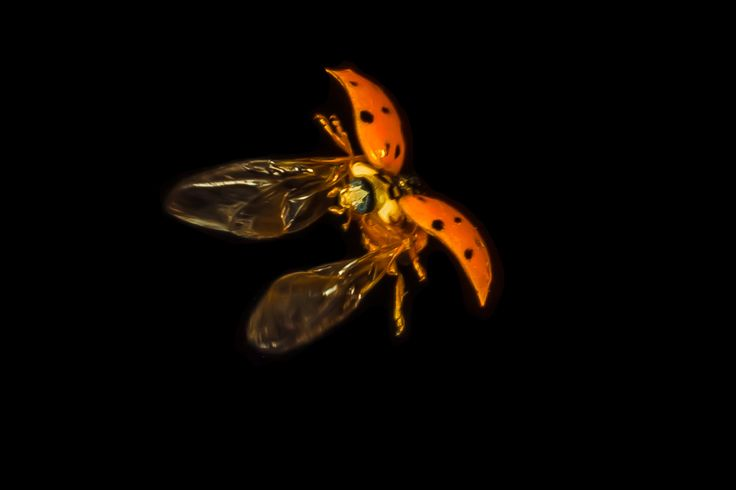 17 Best images about Night Flying Insects on Pinterest ...