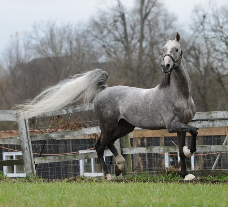 The Long Grey Line Farm - breeders of American Saddlebred and American Warmblood Registry horses - The Grey Prince