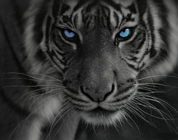 .: White Tigers, Paintings Art, Big Cat, Animal Paintings, Beautiful, Art Prints, Art Show, Blue Eyes, Bigcat