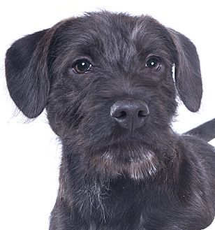 Chicago, IL - Labrador Retriever/Schnauzer (Standard) Mix. Meet Billy, a puppy for adoption. http://www.adoptapet.com/pet/17614700-chicago-illinois-labrador-retriever-mix