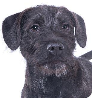 Chicago, IL - Labrador Retriever/Schnauzer (Standard) Mix. Meet Billy, a puppy for adoption. http://www.adoptapet.com/pet/17614700-chicago-illinois-labrador-retriever-mix