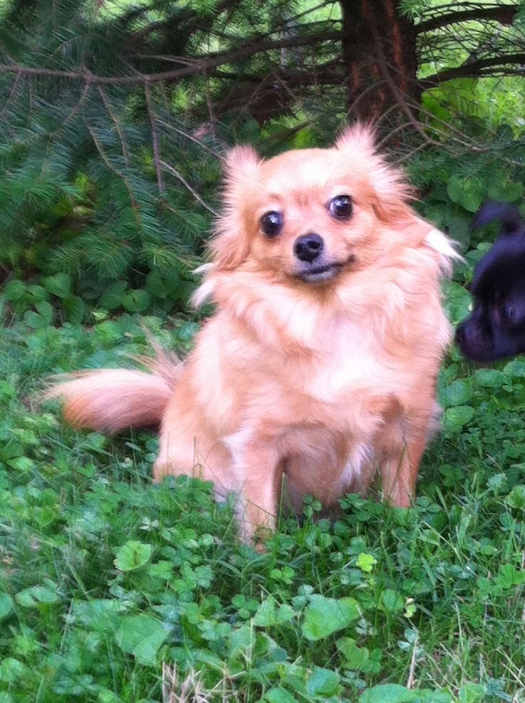 Rocky our beautiful pomerianchihuahua mix! He is a