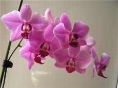 ПРАВИЛЬНОЕ РАЗВЕДЕНИЕ ОРХИДЕЙ    Орхидея является одним из прекраснейших цветков нашей планеты. Она придаст Вашему дому изысканности. Причем Вы с легкостью сможете осуществить выращивание орхидей в квартире. Никаких особых сложностей этот процесс у Вас не вызовет.    Многие до сих пор боятся разводить орхидеи у себя дома по одной незамысловатой причине. Уж слишком такой цветок привередлив. Давай зададим сами себе вопрос? А правильно ли мы так считаем? Может все дело в правильн...