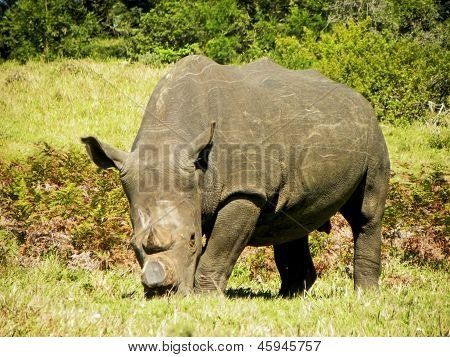 Dehorned White Rhino