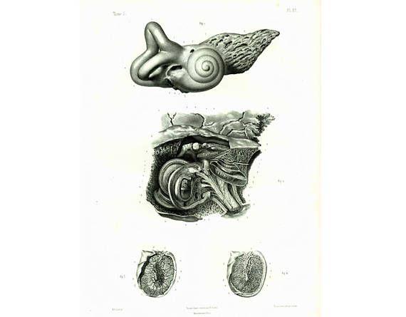 1844 Anatomie de l'oreille interne membrane du tympan