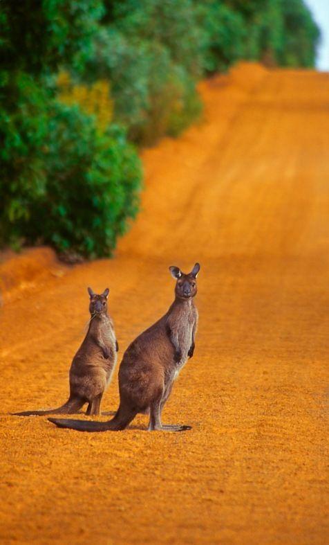 Australia travel. Kangaroos crossing, Kangaroo Island. Australia vacation.