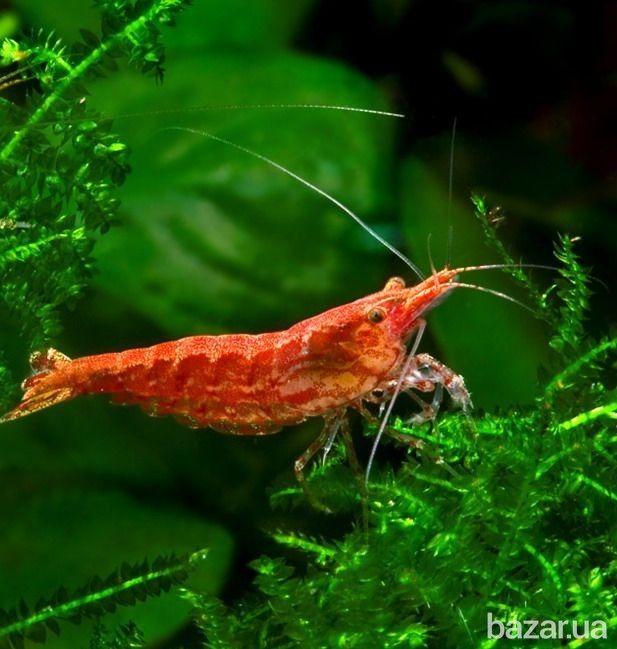 Креветки - Черрі дуже цікаві в поведінці - активні при годуванні, захищають вибрані місця для укриття і в багатьох ситуаціях поводяться як люди....