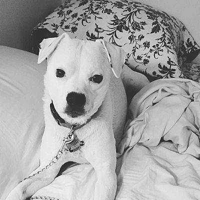 Columbus, OH Boxer. Meet Geno a Pet for Adoption. Pet