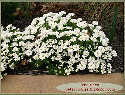 Candytuft: Easy year-round perennial evergreen that blooms white flowers in the spring, but looks like an evergreen bush in the winter.