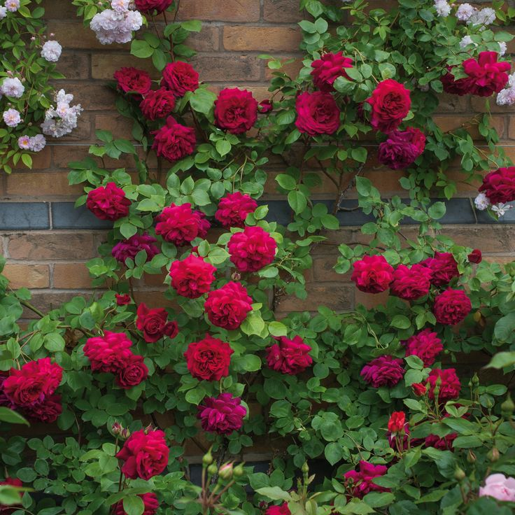 Rosa 'Tess of the d'Urbervilles'- Large, bright crimson blooms. Good Old Rose fragrance. Flowers freely from early in the season.