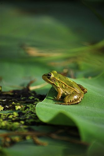 Frogs on sunny lillypads. Motionless until a bug comes close...