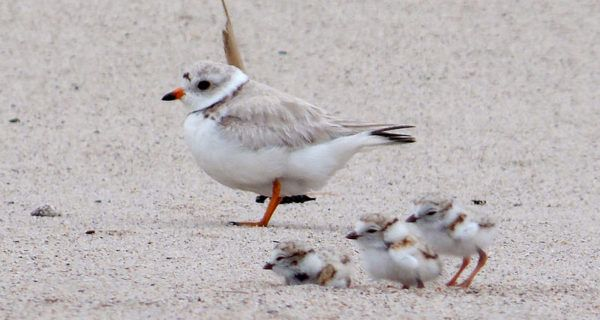 Effects of Sea Level Rise Could Push Coastal Nesting Birds to Extinction  Learn more by visiting us at: http://theterramarproject.org/thedailycatch  Photo: USFWS/Wikimedia Commons (CC0)