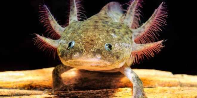 Anfibi - quando i Vertebrati passarono alla vita terrestre In foto: L'Ambystoma mexicanum, comunemente chiamato axolotl;è una salamandra neotenica (compie l'intero ciclo vitale allo stadio di larva) che vive nel lago di Xochimilco, nei pressi di Città del Me
